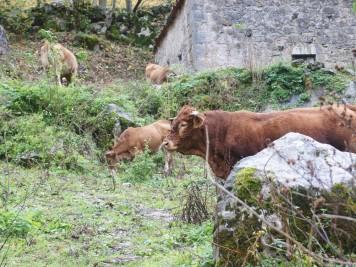 Toro en Bulnes