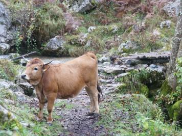 Vaca en Bulnes